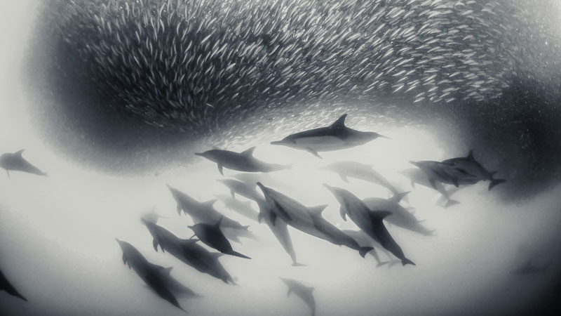 Pod of dolphins hunting a shoal of fish