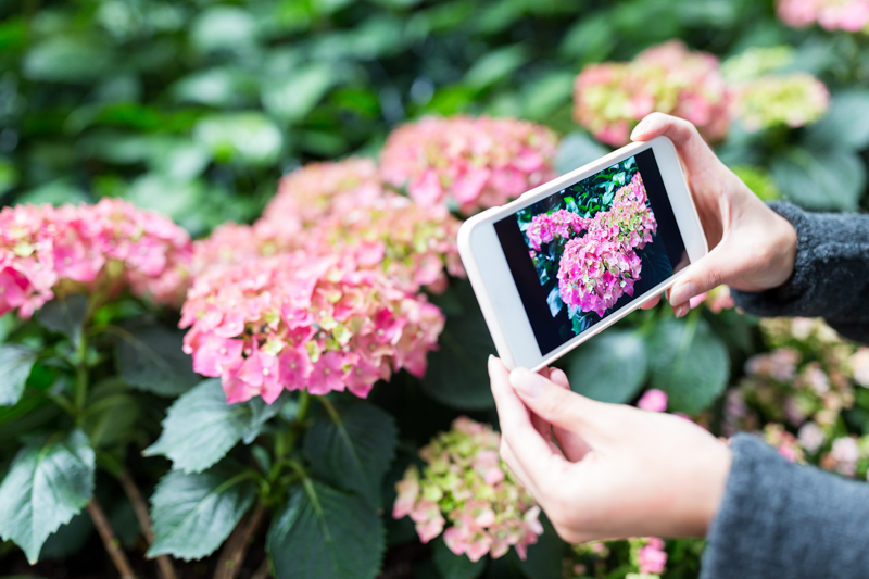A person taking a photograph of Hydrangea flowers.